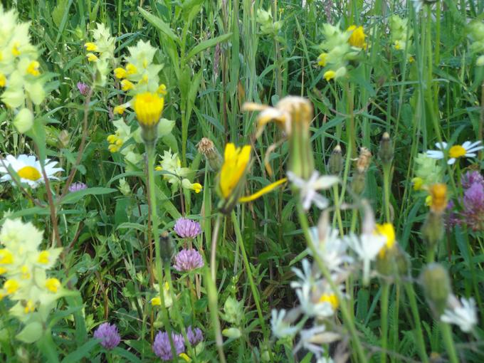 Blumenwiese 03.jpg